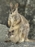 Mareeba rock wallaby with joey, mitchell river,Queensland,Australia Royalty Free Stock Photos
