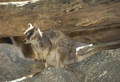 wild mareeba rock wallaby, mitchell river, Cairns, Queensland, Australia stock photo