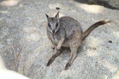 Mareeba Rockowy Wallaby Fotografia Stock