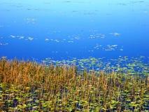 Mareeba-Sumpfgebiet-Schilfe stockbilder