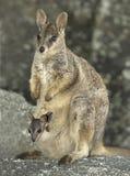 Mareeba vaggar vallabyen med känguruunge, den mitchell floden, Queensland, Australien Royaltyfria Foton