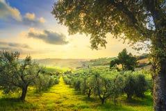 Maremma乡下全景和橄榄树在日落 卡萨莱马里蒂莫,比萨,托斯卡纳意大利 库存照片