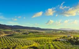 Maremma乡下全景和橄榄树在日落 卡萨莱马里蒂莫,比萨,托斯卡纳意大利 免版税库存照片