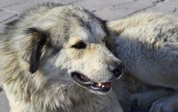 Maremma护羊狗,abruzzese帕斯托的maremmano 库存照片