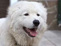 Maremma or Abruzzese patrol dog Portrait Royalty Free Stock Photography