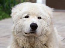 Maremma or Abruzzese patrol dog Portrait Stock Photo