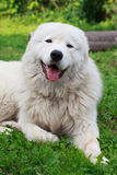 Maremma or Abruzzese patrol dog resting under a bush on the gras Stock Photos