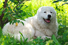 Maremma or Abruzzese patrol dog resting under a bush on the grass. In the garden Stock Image