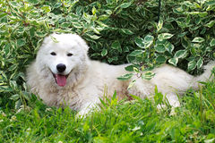 Maremma or Abruzzese patrol dog resting under a bush on the grass Royalty Free Stock Images