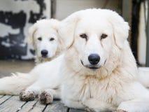 Maremma-Abruzzese Sheepdo, grote witte vriendschappelijke hond Stock Afbeelding