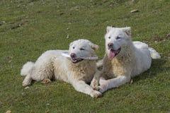 Maremma-Abruzzese Sheepdogs Stock Photos