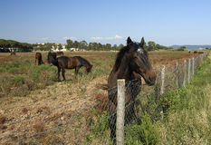 Maremma. Alberese Gr, Italy, some horses grazing in the Maremma Regional Park stock images