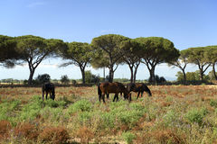 Maremma. Alberese Gr, Italy, some horses grazing in the Maremma Regional Park royalty free stock images
