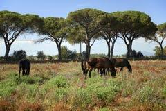 Maremma. Alberese Gr, Italy, some horses grazing in the Maremma Regional Park royalty free stock image