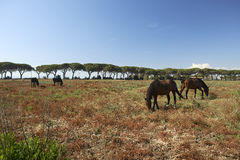 Maremma. Alberese Gr, Italy, some horses grazing in the Maremma Regional Park Stock Photo
