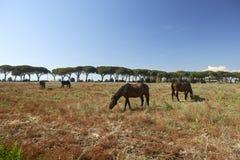 Maremma. Alberese Gr, Italy, some horses grazing in the Maremma Regional Park stock photos