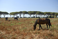 Maremma. Alberese Gr, Italy, some horses grazing in the Maremma Regional Park stock image