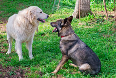 Maremma and belgian shepherds. In a garden Stock Images