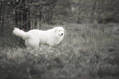 Maremma branco anda através das madeiras Fotografia preto e branco fotos de stock