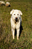 Maremma dog Royalty Free Stock Photos