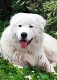 Maremma eller Abruzzese patrullhund som vilar på gräset i garden Arkivfoto