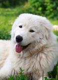 Maremma eller Abruzzese patrullhund som vilar under en buske i garden royaltyfri fotografi