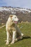 Maremma fårhund Royaltyfri Fotografi