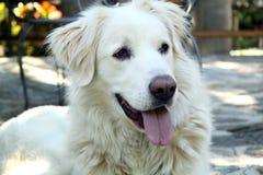 Maremma-Schäferhund Lizenzfreie Stockfotografie