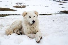 Maremma-Schäferhund im Schnee Stockbild