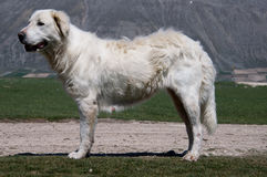 Maremma Sheepdog Stock Image
