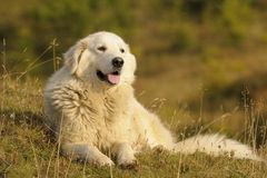 maremma sheepdog Obrazy Royalty Free