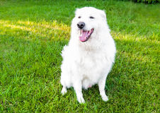 Maremma Sheepdog Royalty Free Stock Photo