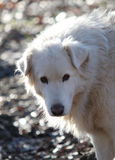 The maremma sheepdog Royalty Free Stock Photos
