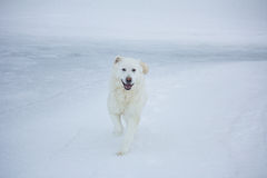 Maremma sheepdog Royalty Free Stock Photography