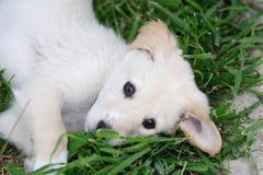 Maremma sheepdog Stock Photos