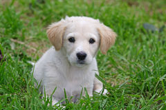 Maremma sheepdog Royalty Free Stock Photo