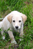 Maremma sheepdog Stock Image