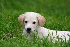 Maremma sheepdog Royalty Free Stock Photos