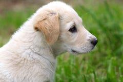Maremma sheepdog Royalty Free Stock Images