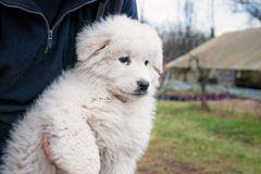 Maremma sheepdog puppy Stock Photos