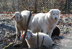 The maremma sheepdog with sheeps Stock Photography