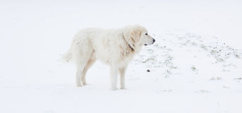 Maremma Sheepdog in the snow Royalty Free Stock Photo