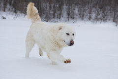 Maremma sheepdog on the snow Royalty Free Stock Photo