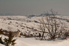 Maremma sheepdog on the snow Stock Images