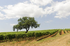 Maremma (Tuscany), vineyard Royalty Free Stock Photo