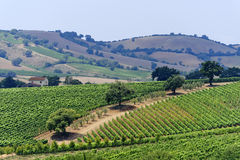 Maremma (Tuscany), vineyard Royalty Free Stock Photography