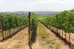 Maremma (Tuscany), vineyard Stock Image