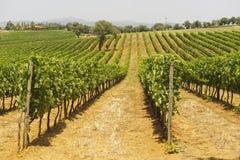 Maremma (Tuscany), vineyard Stock Image