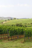 Maremma (Tuscany), vineyard Stock Photography