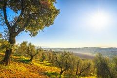 Maremma wsi drzewa oliwne i panorama r obrazy stock